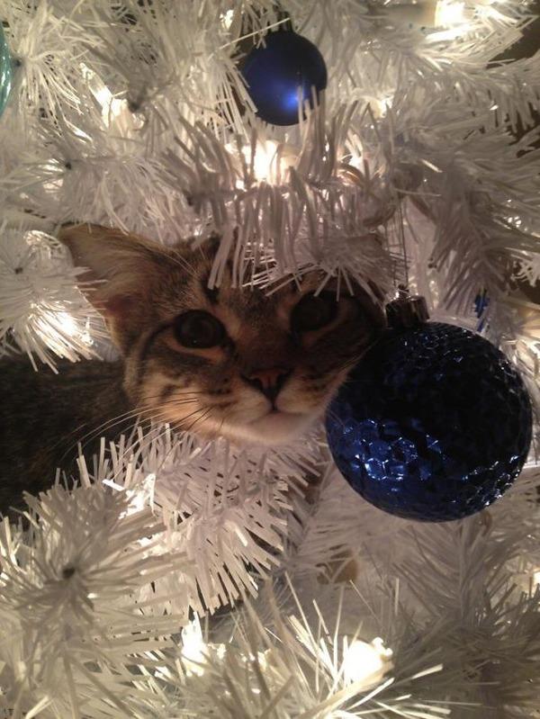 猫、あらぶる!クリスマスツリーに登る猫画像 (17)