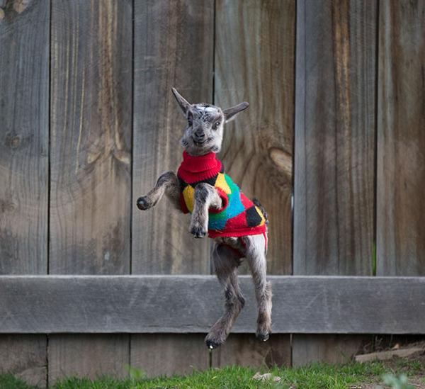 寒いからニットのセーターを小動物に着せてみた画像 (20)