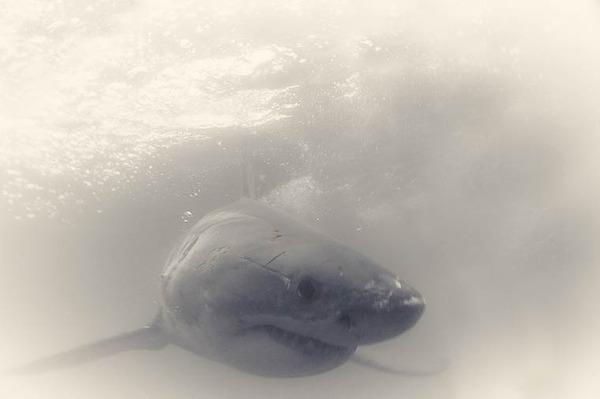 美しいホホジロザメの写真 (11)