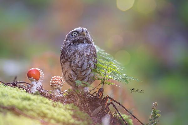 ファンタジック!森のキノコで雨宿りするフクロウの画像ほか (2)