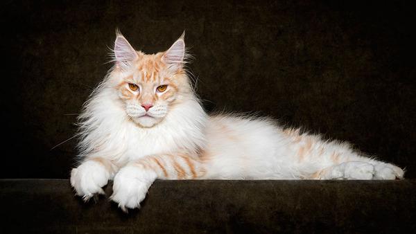 メインクーン画像!気品ある毛並みに威厳ある風貌の猫 (6)