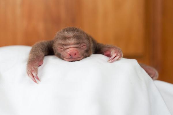 怠け者ならナマケモノに親近感を感じるはず!【ナマケモノ画像】 (3)