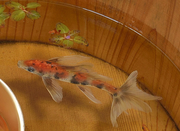 立体的で本物みたい!日本人が描く金魚すくいの絵が凄い (10)