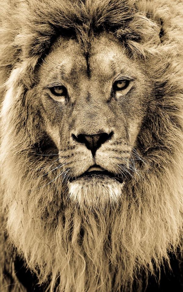 大型ネコ科!ライオン、ヒョウ、トラの美しいセピア写真 (5)