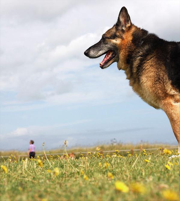 遠近感と錯覚の関係で超巨大に見える犬画像 (17)