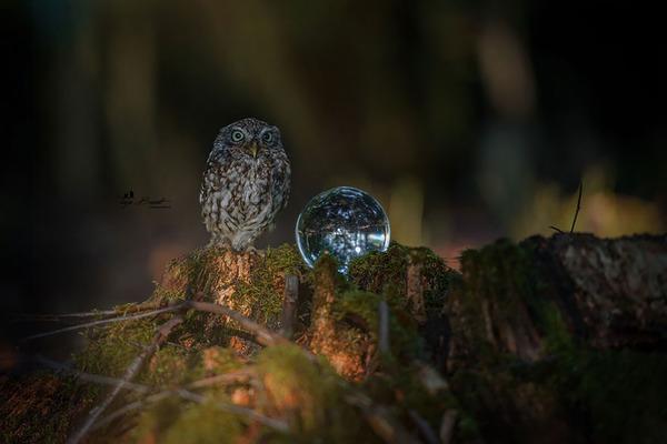 ファンタジック!森のキノコで雨宿りするフクロウの画像ほか (3)