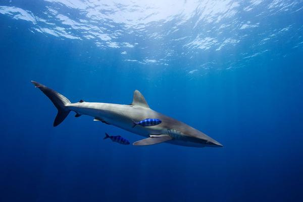 サメの海中写真 Jorge Cervera Hauser 5