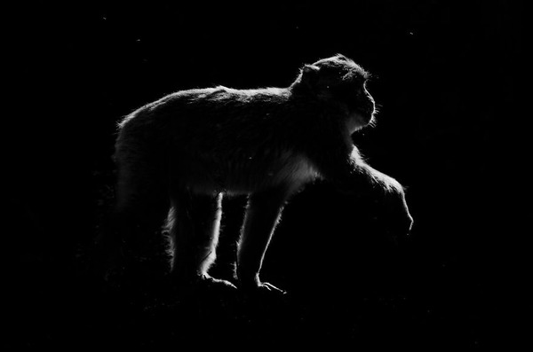 アウトラインとシルエットが美しい白黒の動物写真 9