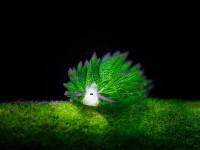 羊っぽいウミウシ!モフモフした羊に見えるかわいい海の生物