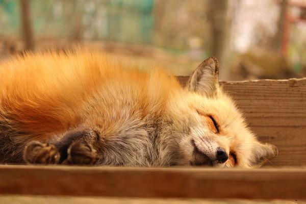 寝てるキツネ