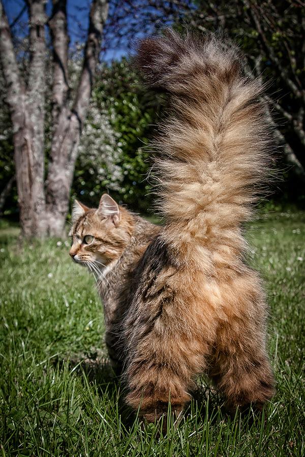 でかすぎる!大型のイエネコ長毛種メインクーン画像【猫】 (37)