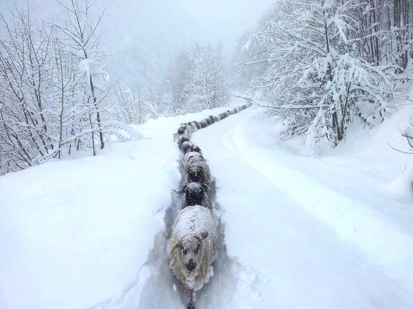 雪の中を歩く羊の群れ