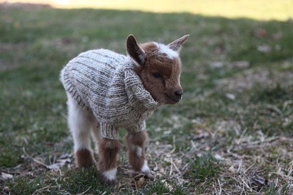 生まれたての赤ちゃん子羊のために特製ニットのセーター(3)
