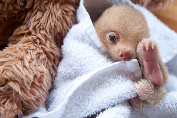 怠け者ならナマケモノに親近感を感じるはず!【ナマケモノ画像】 (6)