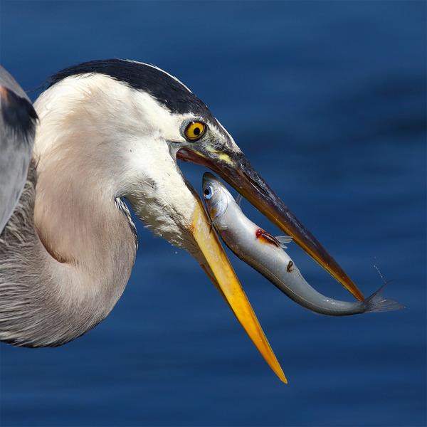 もう逃げられない…!鳥が魚をパックリ食べちゃう瞬間的画像 (7)