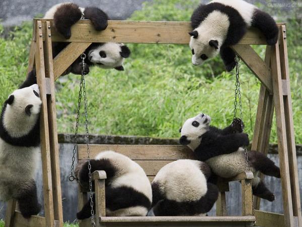 かわいいジャイアントパンダの画像 18