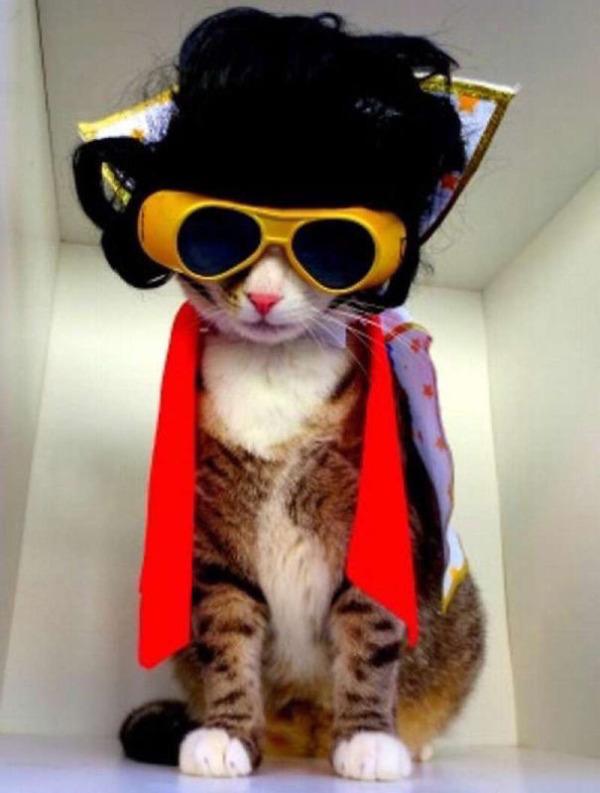 コスプレ猫!ハロウィンだし仮装した猫画像 (22)