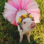 ペットのブタさん!ぶひぶひ可愛い小さなピンク!