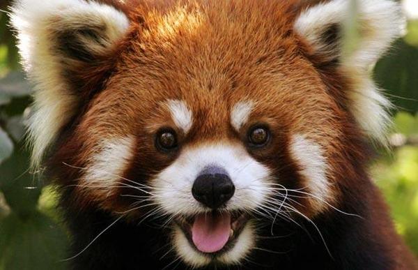 レッサーパンダの笑顔