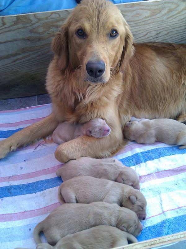 お母さん犬とその子犬達のソックリ集合写真!犬親子画像 (25)