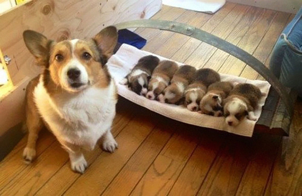 お母さん犬とその子犬達のソックリ集合写真!犬親子画像 (15)