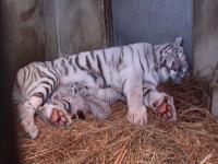 ホワイトタイガーの四つ子の赤ちゃんが生まれたよ!
