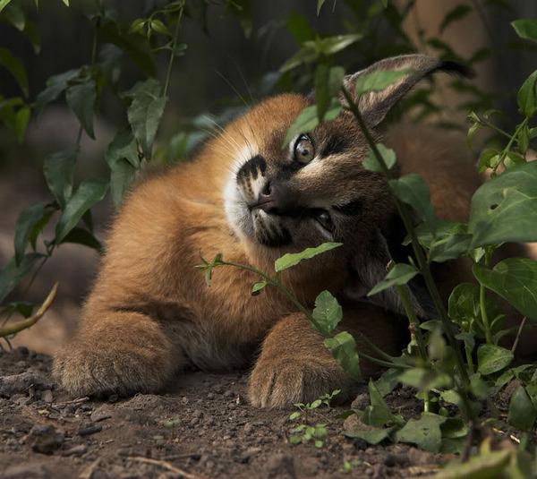 カラカルの画像!麻呂眉と耳の房毛が特徴的なネコ科動物 (24)