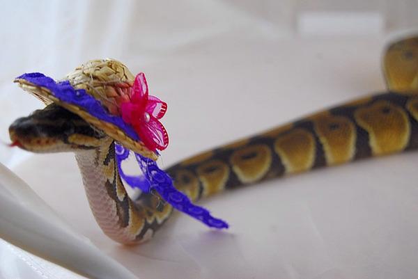 なんだこれカワイイぞ!帽子を被ったヘビ画像特集 (19)