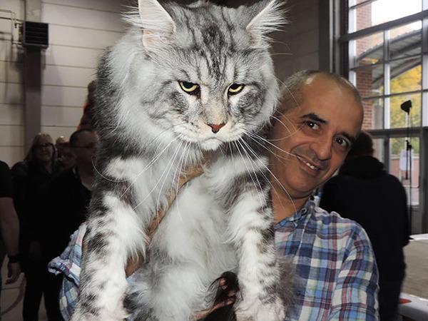 でかすぎる!大型のイエネコ長毛種メインクーン画像【猫】 (1)
