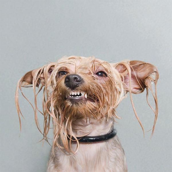 洗い立てだぜ!濡れた犬の写真シリーズ『Wet Dog』 (13)
