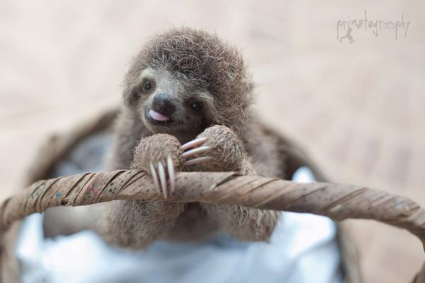 癒し系動物ナマケモノの赤ちゃんが超かわいい画像 (13)