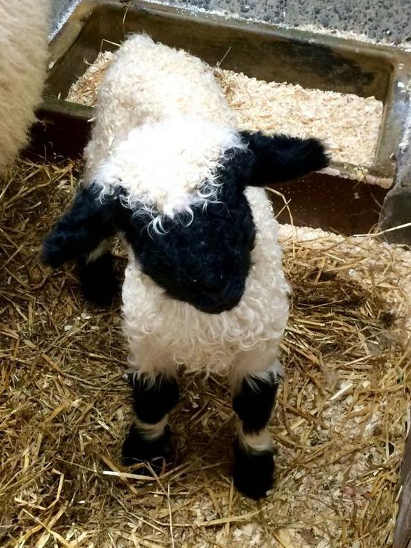 ヴァレーブラックノーズシープ!モフモフな羊 (4)