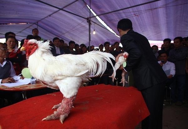 ドン・タオ 鶏 Dong Tao 8