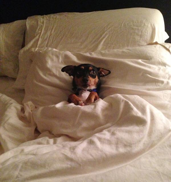 ベッドで寝る犬 かわいいおもしろ画像 25