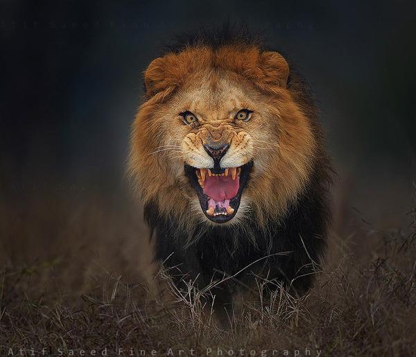 鬼のような形相でこっちへ向かってきたライオン2