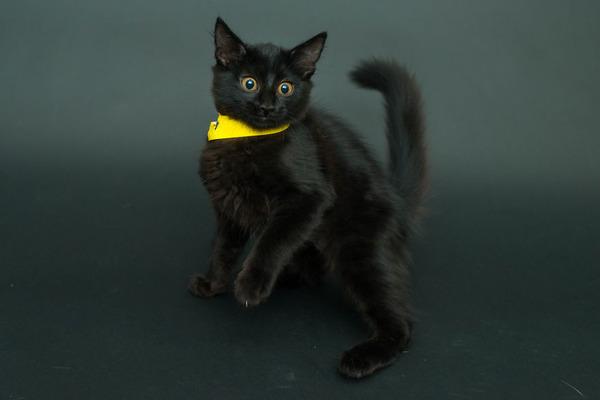 アメリカのアニマルシェルターで里親を待つ黒猫たちの写真 (2)