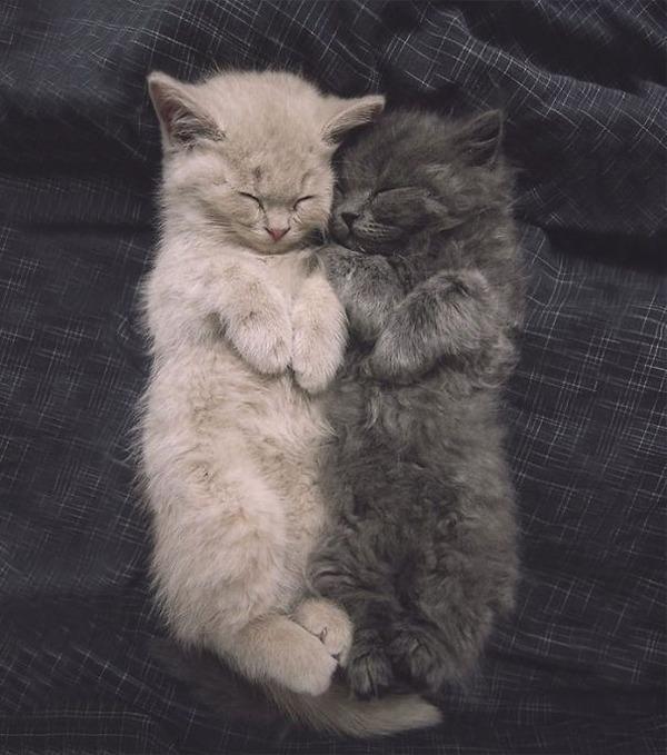 綿菓子フワフワ!モフモフしたくなる長毛種の猫画像 (28)