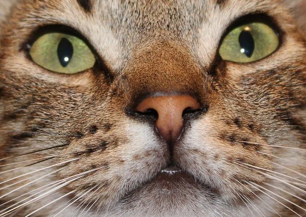 猫の鼻の形は、人間の指紋のように固体パターンを持っている