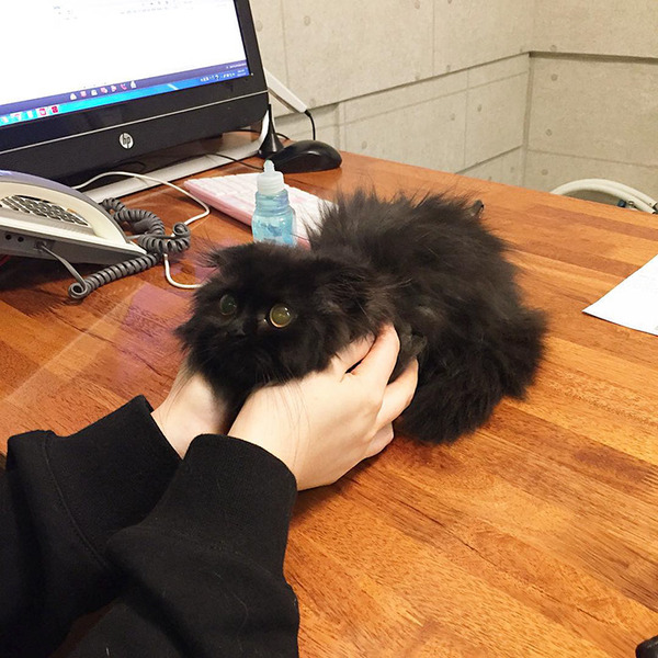 「まっくろくろすけ」みたいな黒猫画像!黒いモフモフ (3)