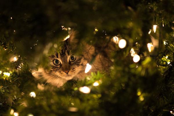 猫、あらぶる!クリスマスツリーに登る猫画像 (48)