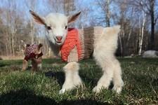 生まれたての赤ちゃん子ヤギに特製ニットのセーターを着せた