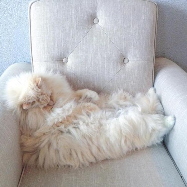 さぁモフれ!ふわふわすぎるラグドールが話題に【猫画像】 (2)