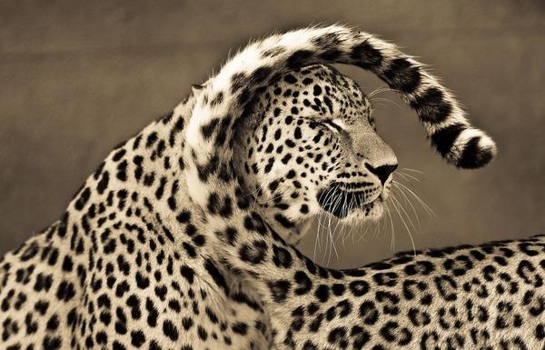 大型ネコ科!ライオン、ヒョウ、トラの美しいセピア写真 (1)