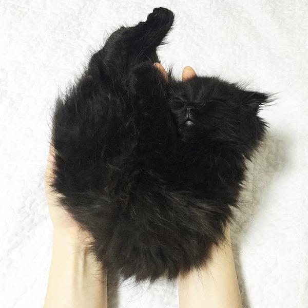 「まっくろくろすけ」みたいな黒猫画像!黒いモフモフ (1)