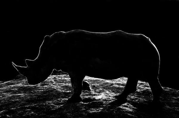 アウトラインとシルエットが美しい白黒の動物写真 6