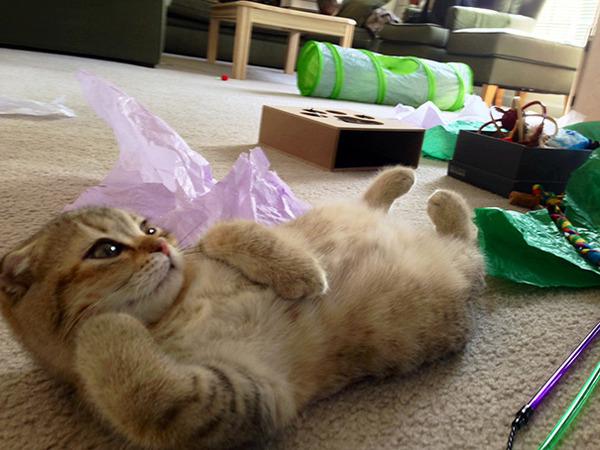 モデルのようにポーズを取る可愛い動物特集 猫 7