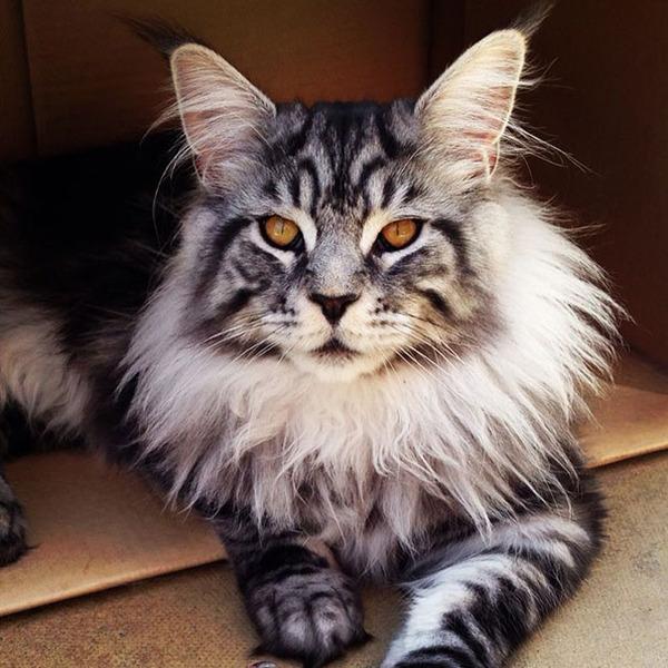 でかすぎる!大型のイエネコ長毛種メインクーン画像【猫】 (19)