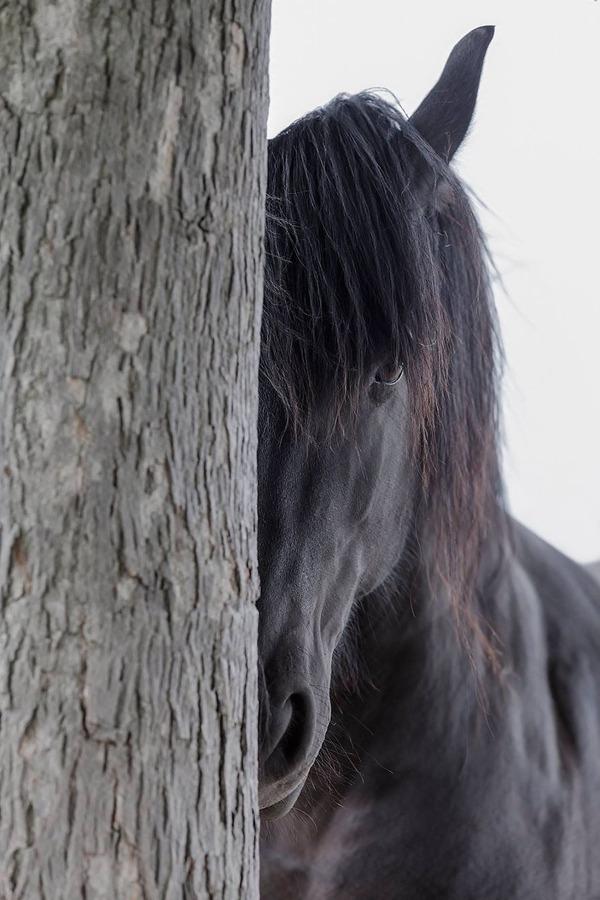 あらイケメンな馬。黒く筋肉質なフリージアン・ホースの画像 (12)