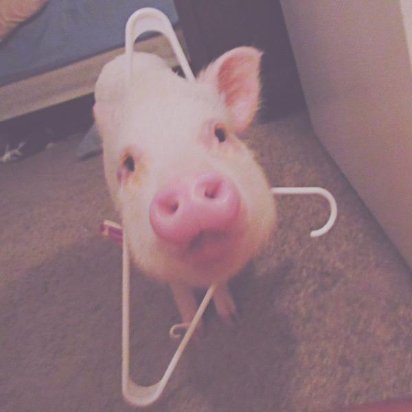 ペットのブタさん!ぶひぶひ可愛い小さなピンク! (12)
