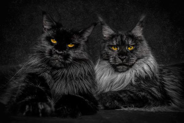 メインクーン画像!気品ある毛並みに威厳ある風貌の猫 (23)